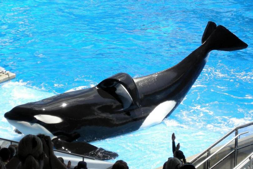 """Seaworld has attracted significant controversy due to its treatment of Orca Whales, partially thanks to the recent documentary, """"Blackfish."""" Photo Credit: http://cdn.ph.upi.com/"""