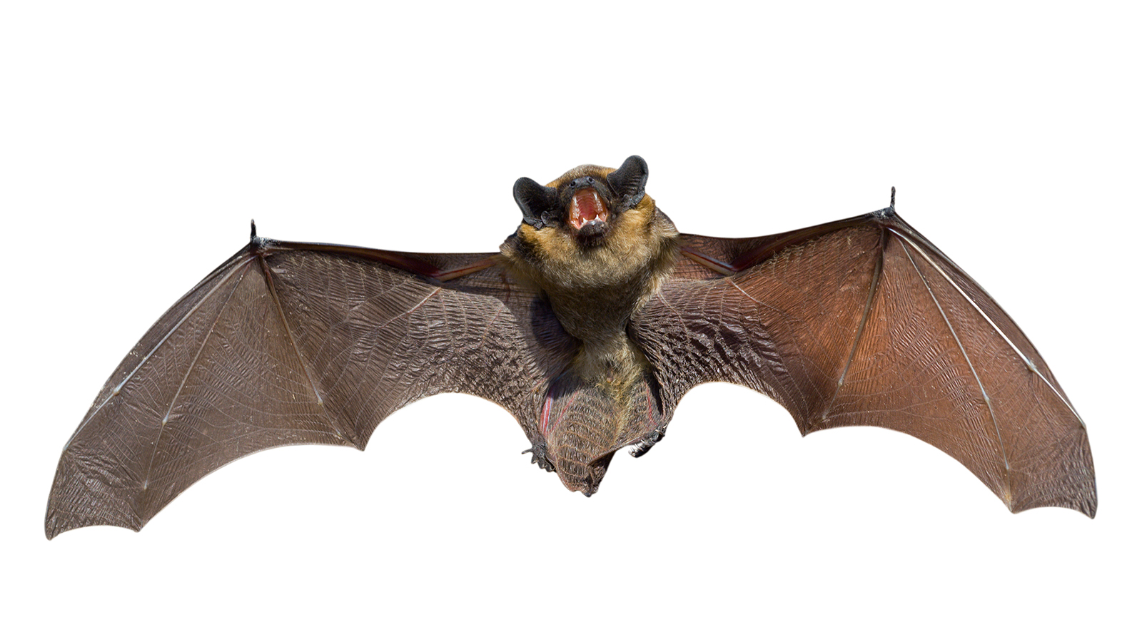 scientists engineer first batbot as bat populations decline - Bat Image