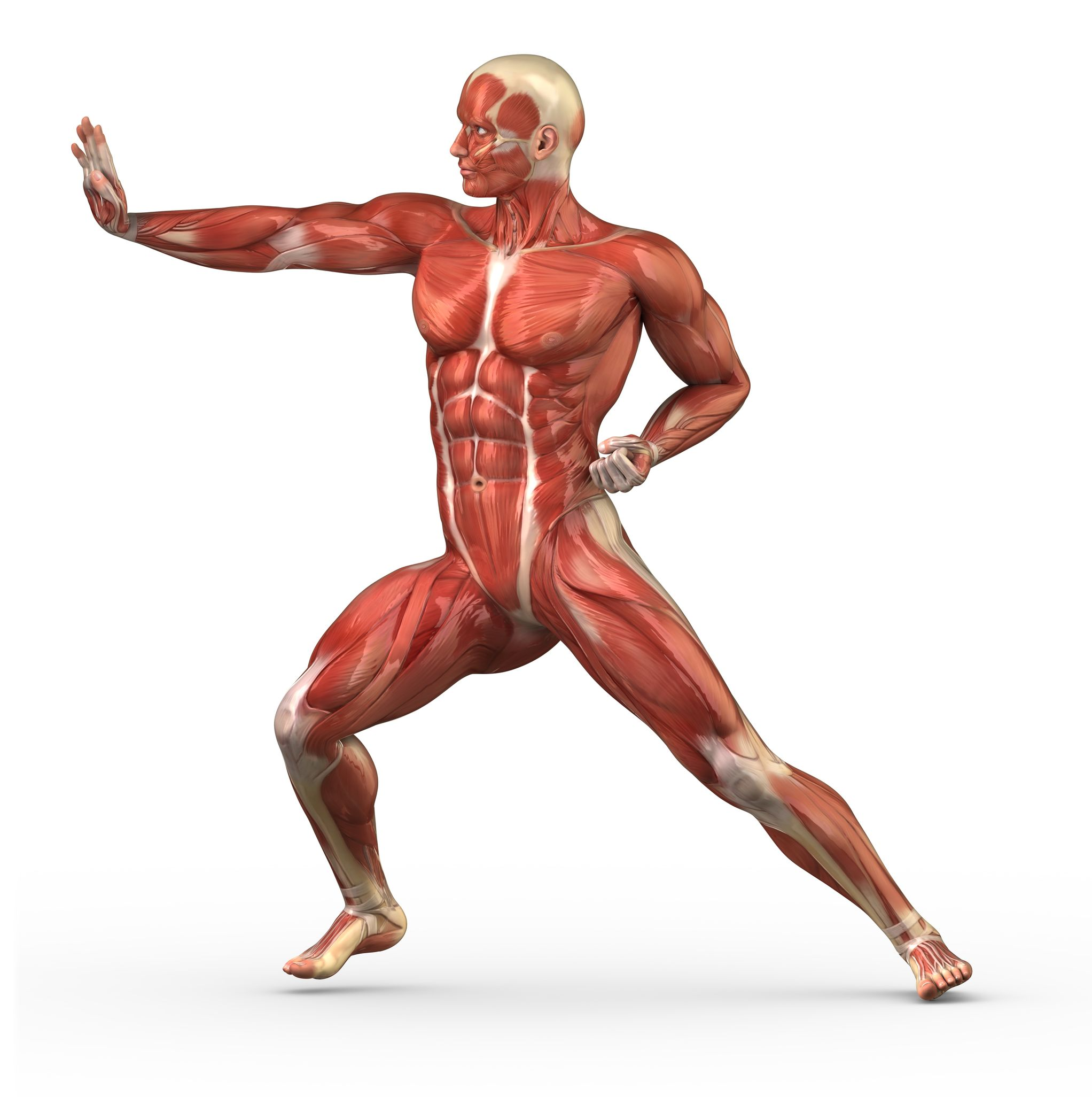 Human Male Muscle Anatomy Images - human body anatomy