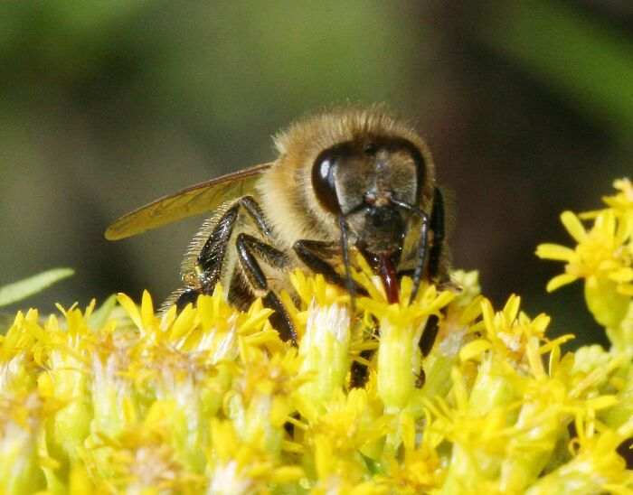 A honeybee (Photo courtesy of Wikimedia Commons)