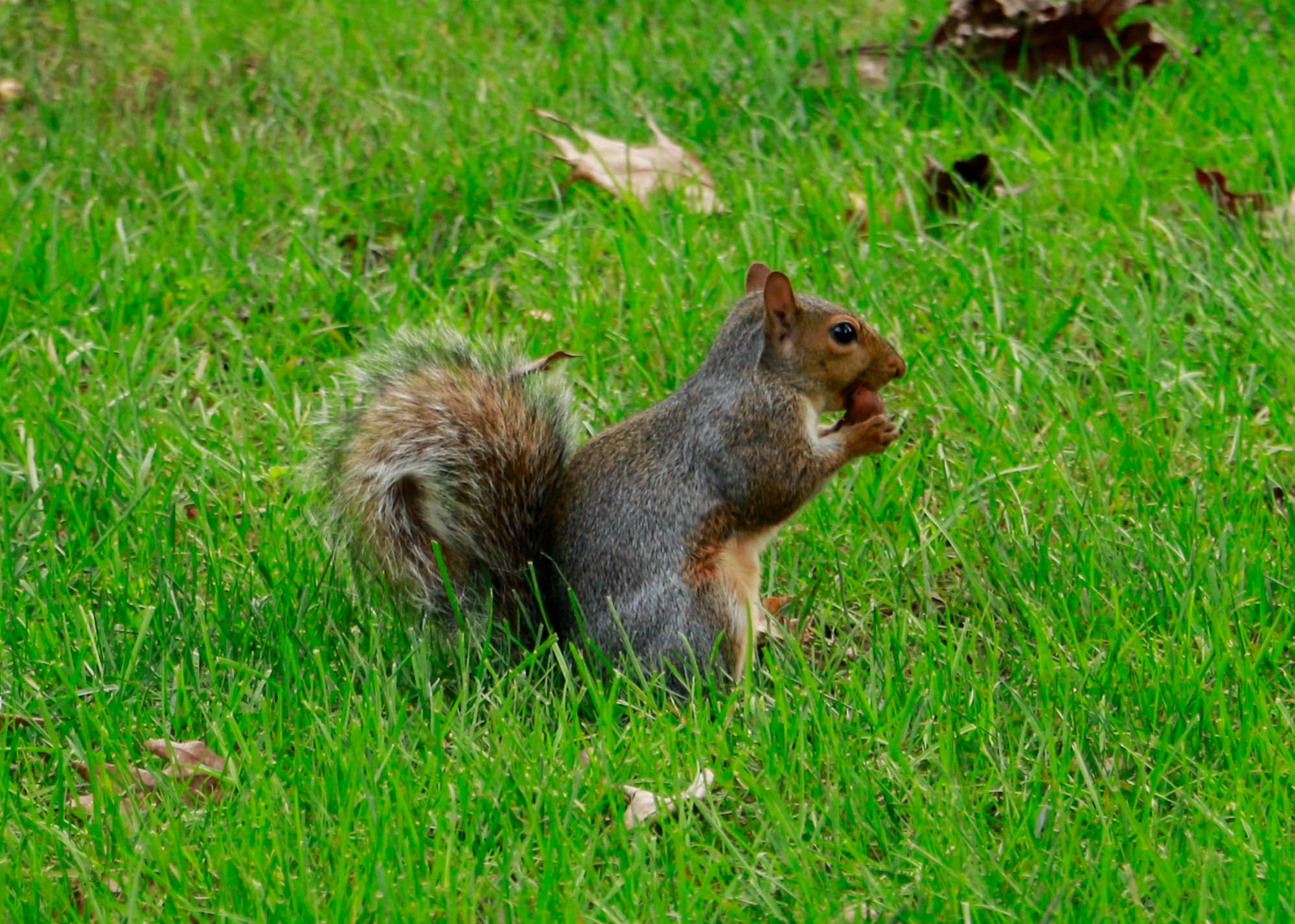 Gettysburg students have grown fond of the many squirrels seen roving around campus (Photo Merlyn Maldonado/The Gettysburgian)