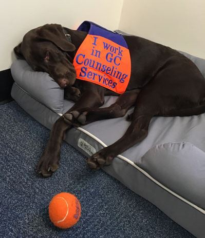 Students struggling with mental health can reach out to Zach, the emotional support dog in Counseling Services (Photo courtesy of Gettysburg College).