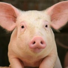 Scientists engineer first human-pig hybrid embryo